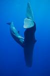 A sperm whale (Physeter macrocephalus) calf prepares to nurse. Dominica. echeng100129_0247871  Canon EOS-5D Mark II, Tokina 17mm f3.5 lens, Seacam underwater housing  1/160s @ f/8, ISO 400