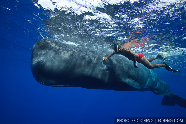Andrew, a local guide, pets Scar, a 10-year old sperm whale he has befriended.