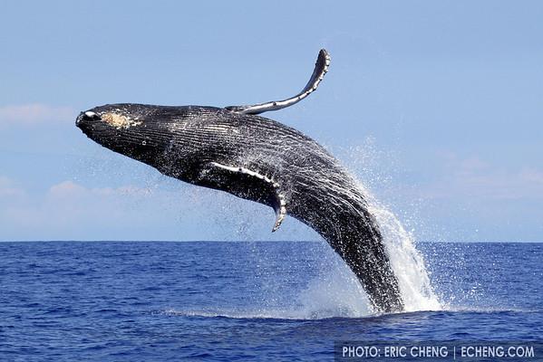 Breaching humpback whale, Kona, Hawaii