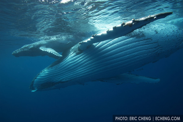 A humpback whale calf rests on her mother, Tonga, 2006.