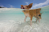 Domestic baby pig (Sus scrofa domestica) swimming in the Bahamas