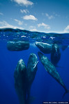 Split image of a group of sperm whales (Physeter macrocephalus) rubbing up against each other while socializing.  echeng100130_0249312  Canon EOS-5D Mark II, Tokina 17mm f3.5 lens, Seacam un ...