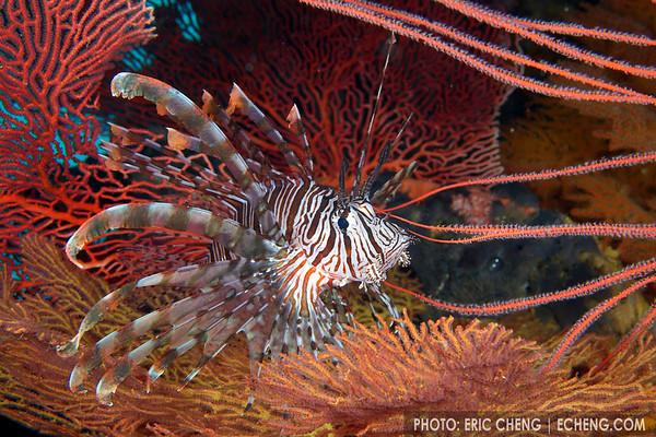 Lionfish in gorgonians, Solomon Islands