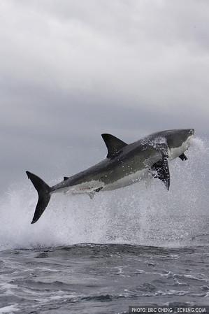 Breaching great white shark off of Seal Island, False Bay (Simonstown, Cape Town, South Africa)
