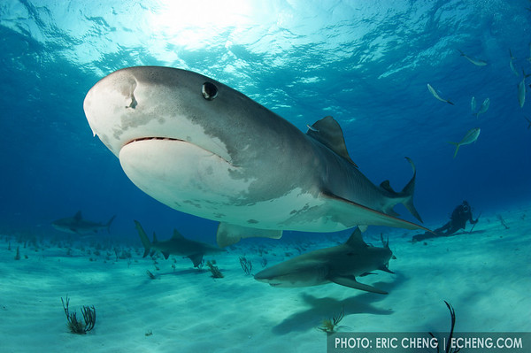 A tiger shark (Galeocerdo cuvier) with lemon sharks and a diver in the background. Bahamas.