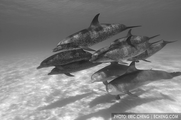 Mixed dolphin pod -- Atlantic spotted dolphins and bottlenose dolphins (Tursiops truncatus), Bahamas. Black and white.