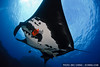 A Clarion angelfish (Holacanthus clarionensis) cleans a giant Pacific manta ray (Manta birostris) at San Benedicto, Mexico.