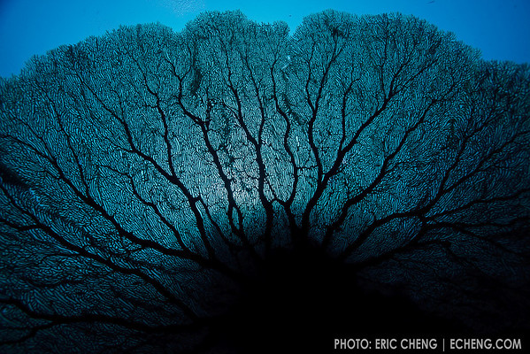 A gorgonian sea fan abstract, underwater. Eastern Fields, Papua New Guinea. echeng091202_0243691<br /> <br /> Canon EOS-5D Mark II, Canon 16-35mm f2.8L lens @ 16mm, Seacam underwater housing<br /> <br /> 1/160s @ f/8, ISO 200