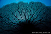 A gorgonian sea fan abstract, underwater. Eastern Fields, Papua New Guinea. echeng091202_0243691<br /> <br /> Canon EOS-5D Mark II, Canon 16-35mm f2.8L lens @ 16mm, Seacam underwater housing<br /> <br /> 1/160s @ f/8, ISO 200