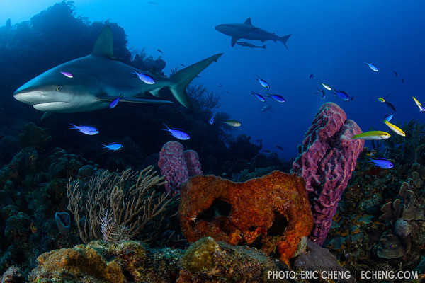 Caribbean reef sharks (Carcharhinus perezi) on a healthy reef in the Bahamas.