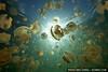 A large school of Mastigias sp. jellyfish in Jellyfish Lake, Palau