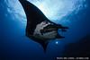 Manta ray (Manta birostris) at The Boiler, San Benedicto, Revillagigedos Islands, Mexico