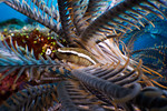 A crinoid clingfish (Discotrema crinophila) in its host crinoid. Eastern Fields, Papua New Guinea. echeng091125_0241090  Canon EOS 50D, Canon EF-S 60mm lens, INON underwater housing, INON in ...
