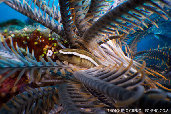 A crinoid clingfish (Discotrema crinophila) in its host crinoid. Eastern Fields, Papua New Guinea. echeng091125_0241090<br /> <br /> Canon EOS 50D, Canon EF-S 60mm lens, INON underwater housing, INON insect eye endoscope lens, 2 x INON S-2000 strobes<br /> <br /> 1/60s @ f/22, ISO 500