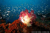 Silversides flow over an illuminated soft coral.  Fakfak, Indonesia.