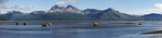 Panorama of Kodiak bears (Ursos arctos middendorffi) at Hallo Bay, Alaska. Stiches from multiple images using Adobe Photoshop.  Canon 1D Mark II, Canon 70-200mm f2.8L IS lens @ 70mm  1/250s  ...