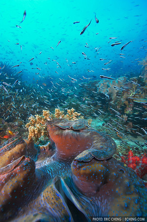 Giant clam and reefscape, Raja Ampat, Indonesia