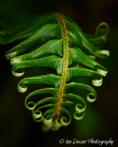 The Curly Frond
