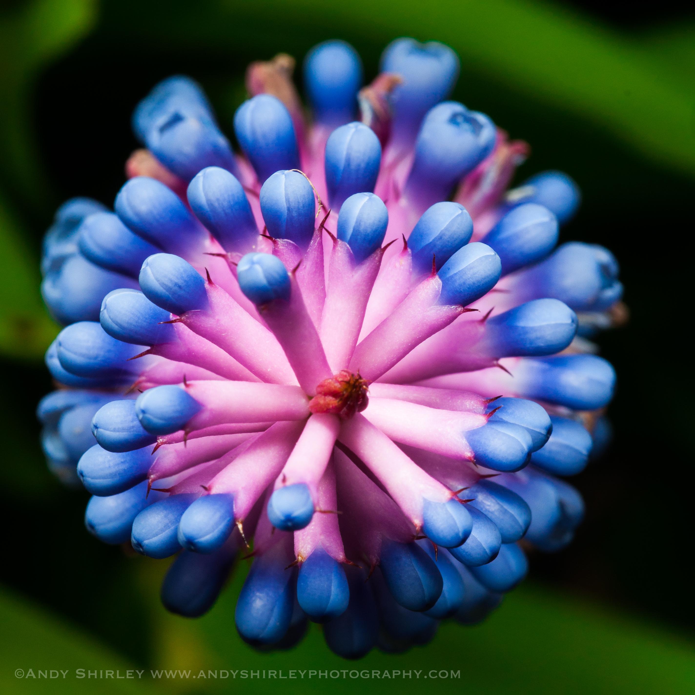 Matchstick bromeliad from Maui, Aechmea gamosepala[OC][2848×2848]