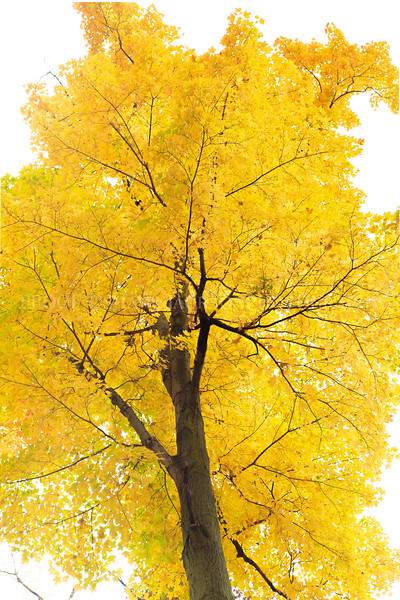 Yellow Tree Vertical