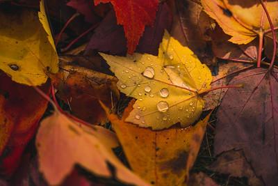 Rain Drops On Yellow Autumn Leaf