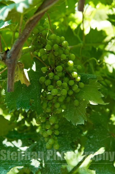 Grapes of Sorrento