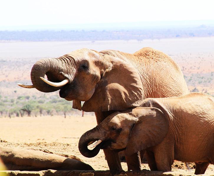 Elephant Drinks