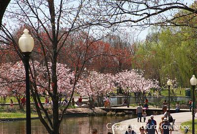 Cherry Blossom Festival, 2015