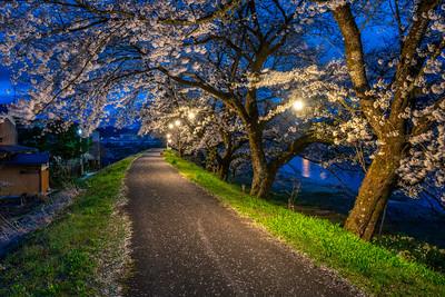 Night Time Sakura Along The Miyagawa River