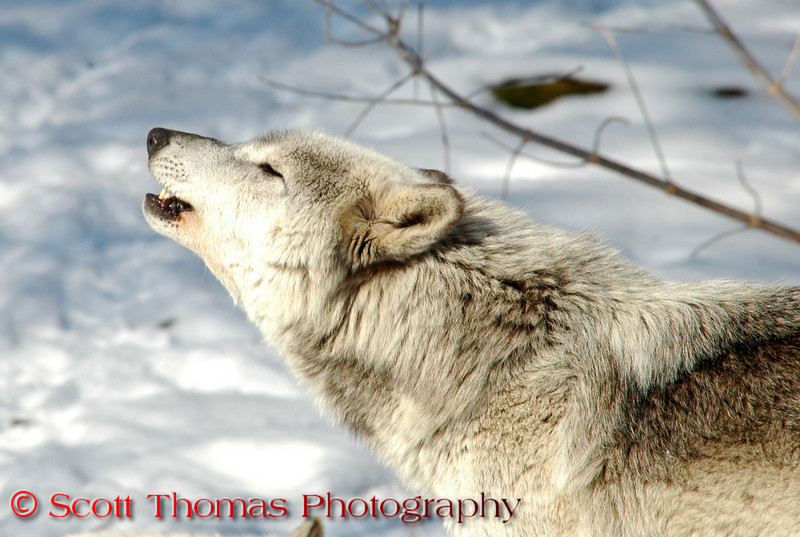 View 9: Call of the Wild. A Gray Wolf (Canis lupus) howling at the Rosamond Gifford Zoo in Syracuse, New York, on Sunday, February 24.