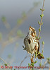 View 18: Song Sparrow
