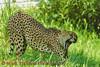 View 31: Cheetah