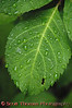 Bonus View: Out in the Rain<br /> <br /> A green leaf with raindrops upon it.