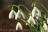 View 15: Snowdrops <br /> <br /> Snowdrops (Galanthus nivalis) are the first flowers to bloom each spring around the house.  The green and white flower brings welcome color to the drab browns and pre-growth grass of the surrounding lawns and forests.