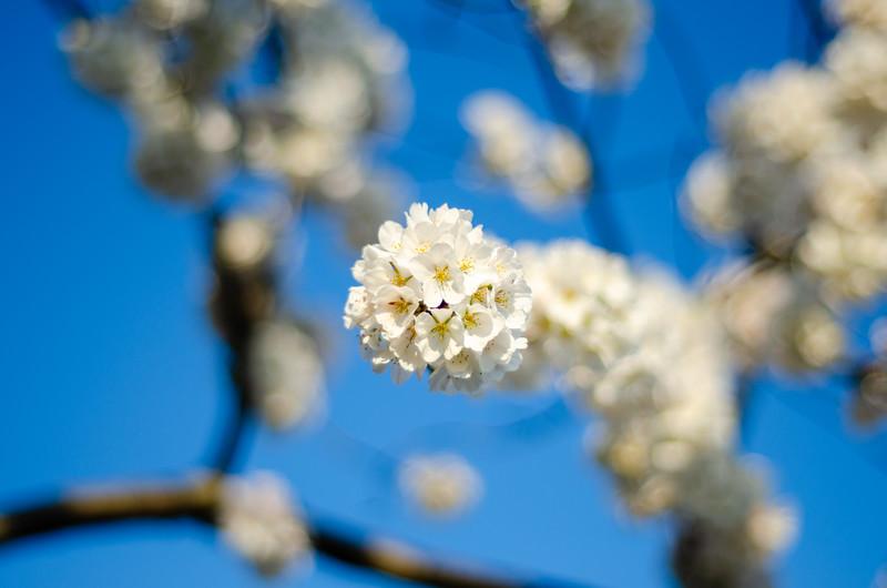 Cherry Blossom Pop