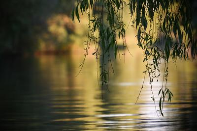 Salcie plingatoare - Delta Dunarii