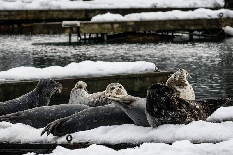 Basking Harbor Seals