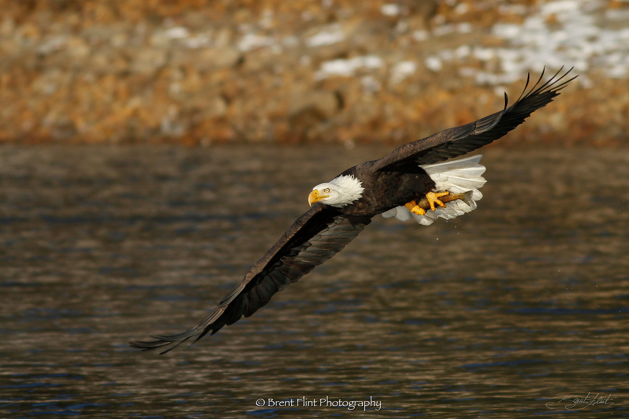 DF.3465 - bald eagle in flight with salmon, Kootenai County, ID.