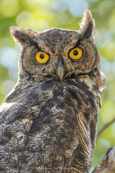 DF.3776 - Great Horned Owl, Bonner County, ID.