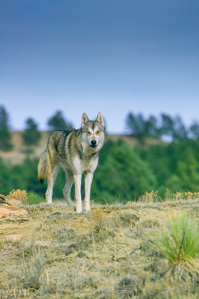 S.1246 - grey wolf