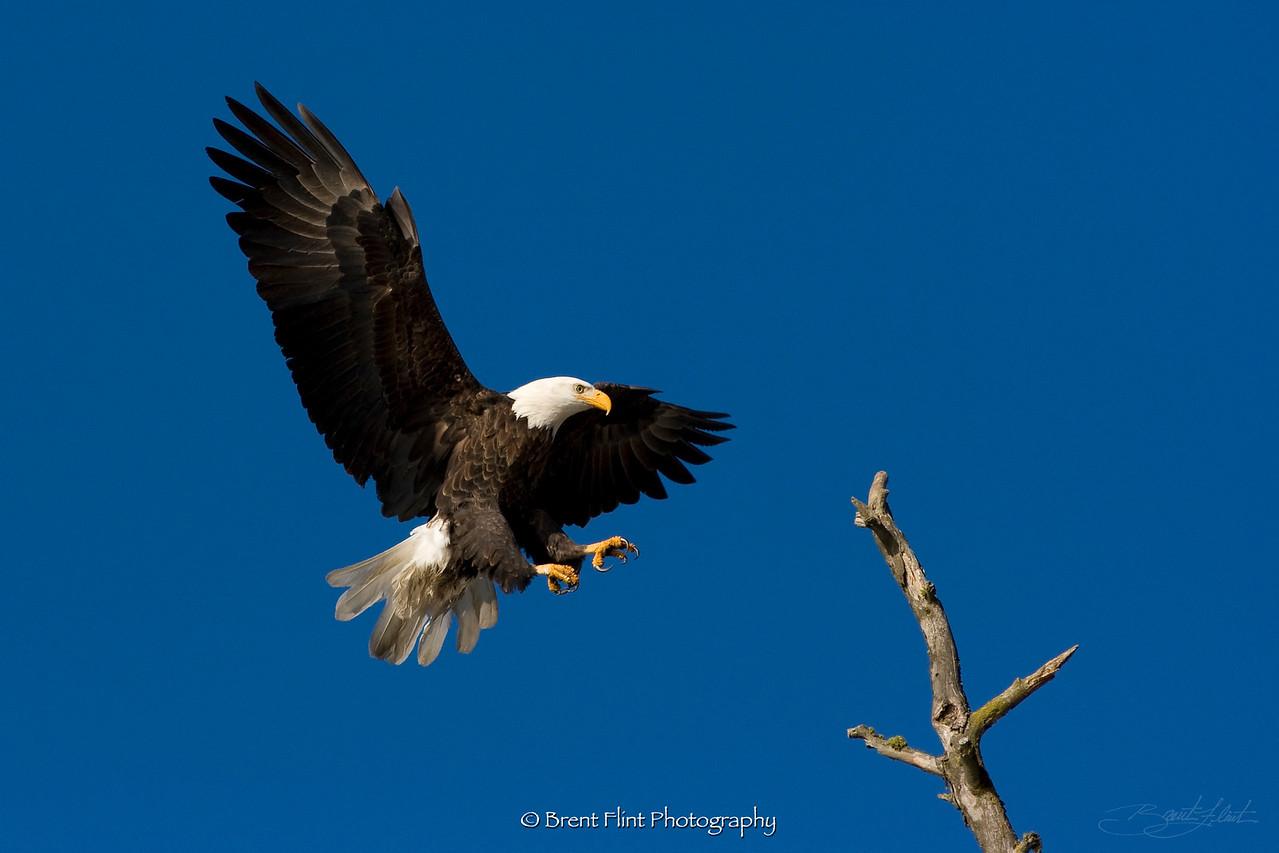 DF.1005 - Bald eagle landing on snag