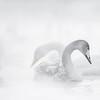 Sliver Swan