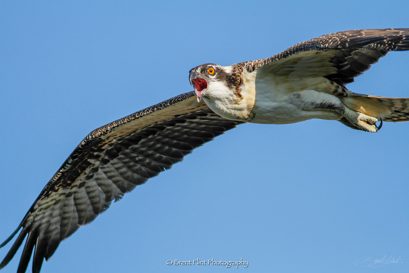DF.3201 - young osprey, Kootenai County, ID.
