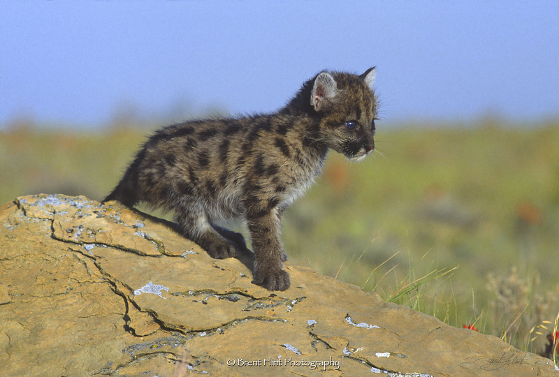 S.1627 - cougar kitten