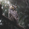 Perched Great-Horned Owl
