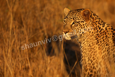 A Portrait of a Leopard in the African Bush