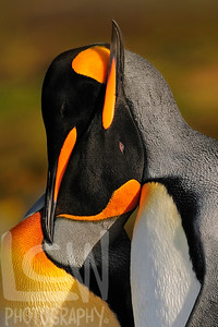 11-45771, King Penguins in Love