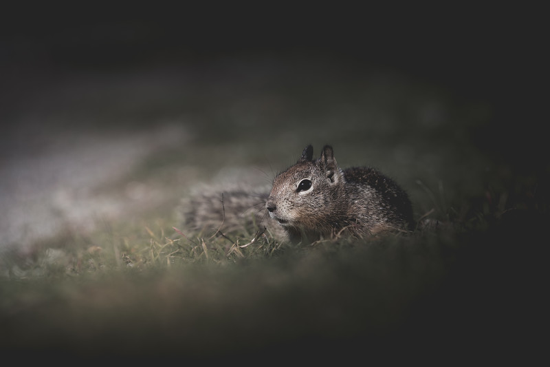 Ground Squirrel on the Move