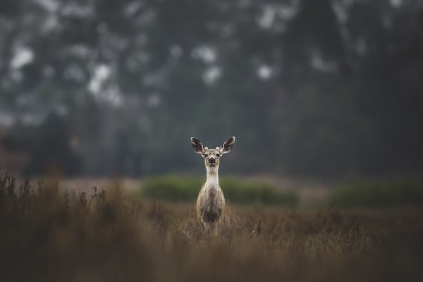 Little Deer Listening