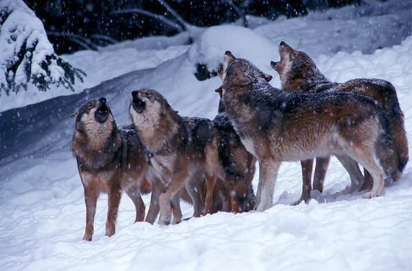 Howling wolves in winter